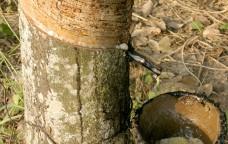 Sotto l'albero delle gomme