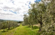 L'oro verde italiano: l'olio