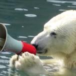 orso riscaldamento globale