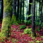 faggio boschi